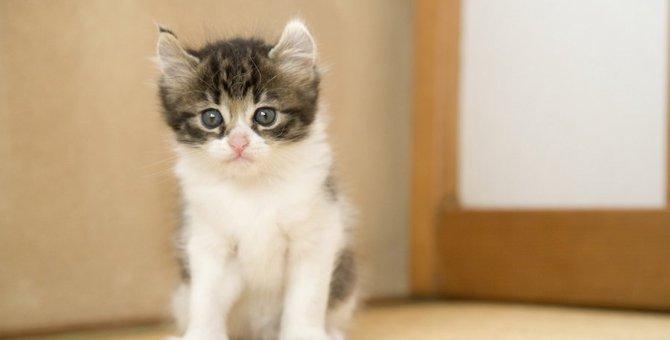アメリカンカールのかわいい画像26選!子猫や立ち耳の写真も