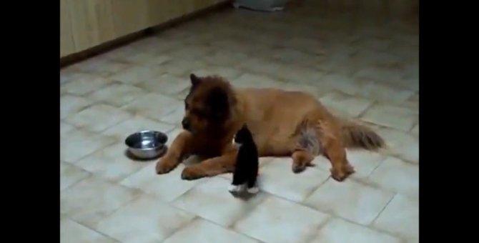 「無視しにゃいでぇ」犬と遊びたい子猫ちゃんが可愛い♡