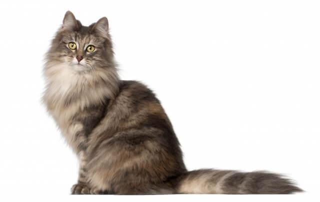 ノルウェージャンフォレストキャットの毛色!種類が豊富な人気の猫