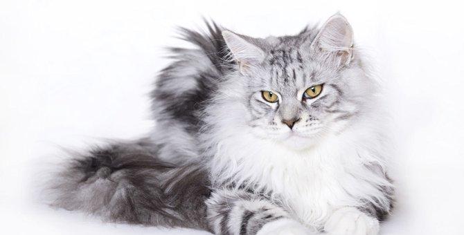 メインクーンは犬っぽい猫!?その魅力を徹底解析!