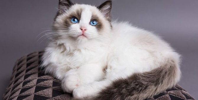 長毛種の猫で人気の猫種6選!