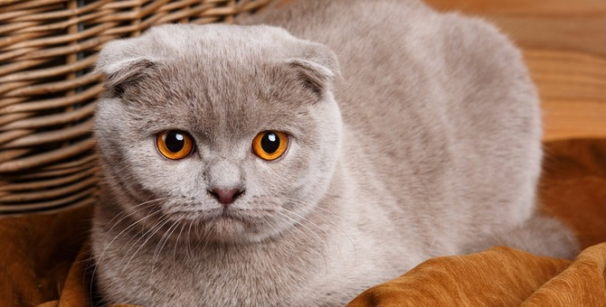 スコティッシュティッシュとは 全10種のかわいい猫フィギュア