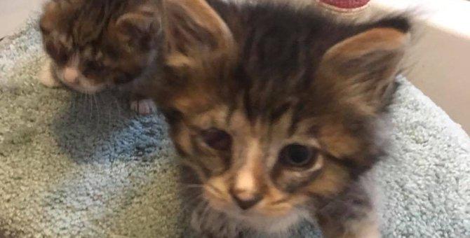 保護された子猫の兄弟…感染症で弱視の弟を兄は、かばうように寄り添い生きていた