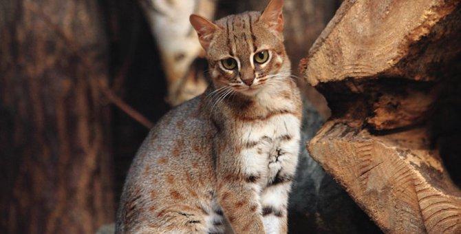 サビイロネコはペットにできる?大きさや性格、日本で見れる動物園など