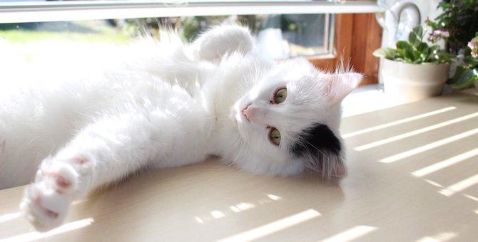 猫のバンカラーってどんな柄?模様の特徴や代表的な猫種について