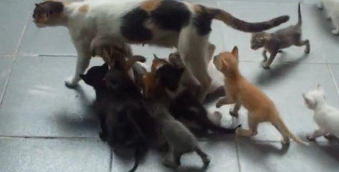 母業はどこも大変!16匹の子猫で埋まる母猫ちゃん