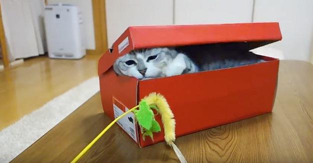 箱の中から飛び出るにゃ!ねこじゃらしに箱の中から手を伸ばす猫ちゃん!