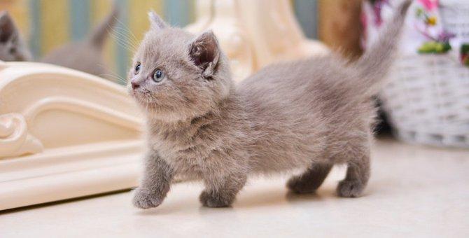 スコティッシュフォールドの人気猫ブログ37選!