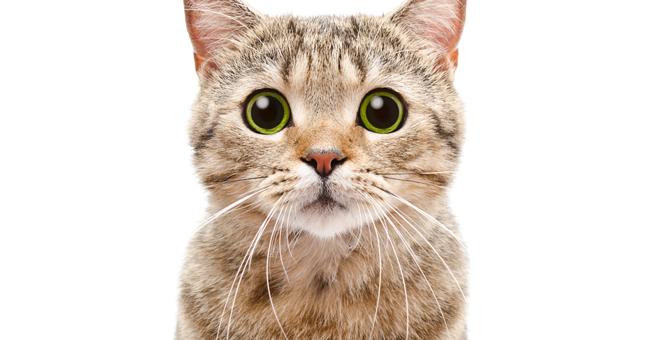 猫がフレーメン反応をする理由