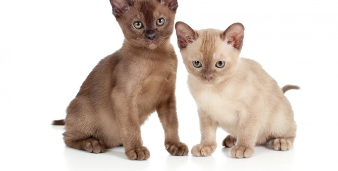 ヨーロピアンバーミーズってどんな猫?性格や特徴から飼い方・病気・歴史まで