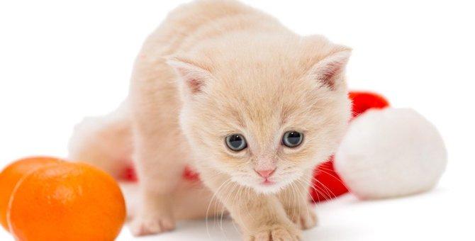 猫に『みかん』は危険!食べてしまったらどうしたらいい?