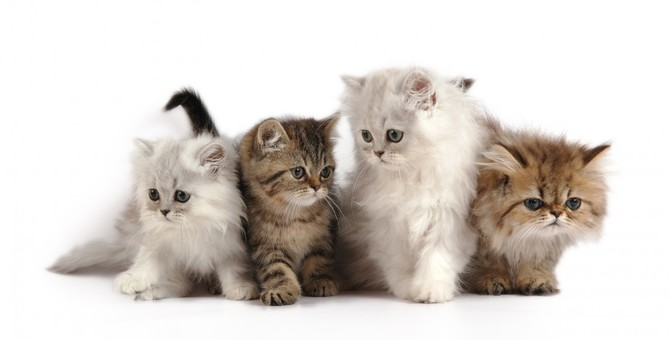 ペルシャ猫の毛色のカラーバリエーションは7タイプある