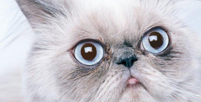ペルシャ猫の特徴・性格