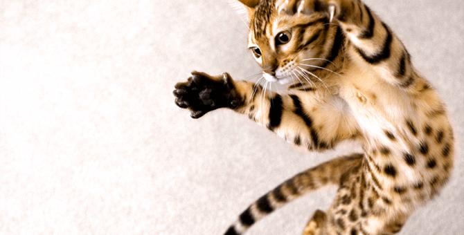 猫のジャンプ力はどのぐらい?驚異の身体能力とその理由