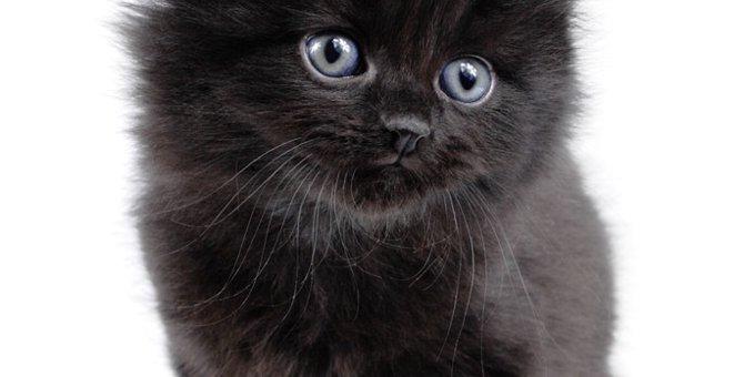 シャンティリィはどんな猫?特徴や性格、飼い方まで