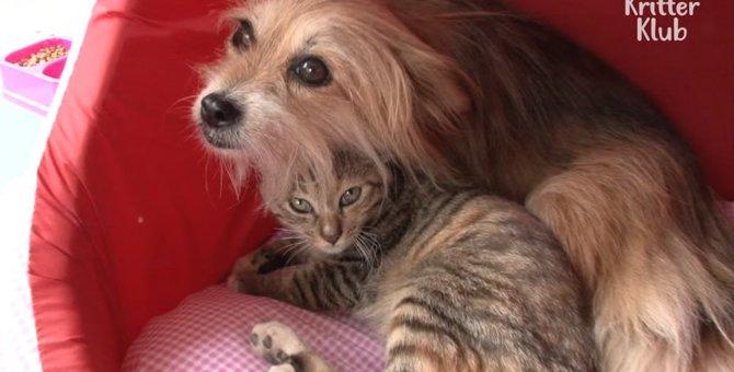 特別な絆で結ばれた二人!下半身麻痺の猫ちゃんを見守るわんちゃん