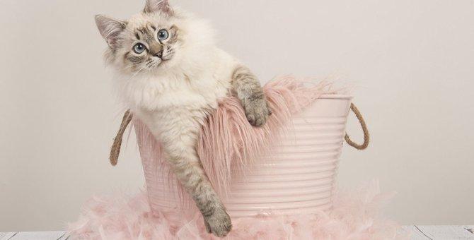 『大型猫』の種類4選!一般的な猫との違いや魅力・注意点を紹介
