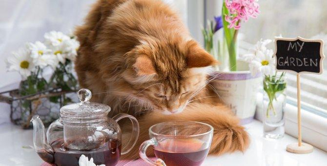 猫はお茶を飲んでもいいのか与えて良い物と悪い物