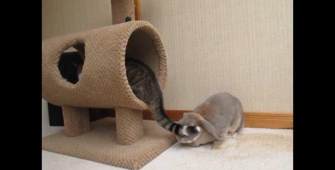 ウサギさん、猫ちゃんのしっぽに翻弄される