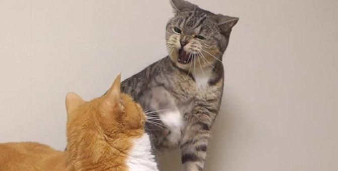 珍しい!ちょっとビックリしちゃった妹猫のシャー!