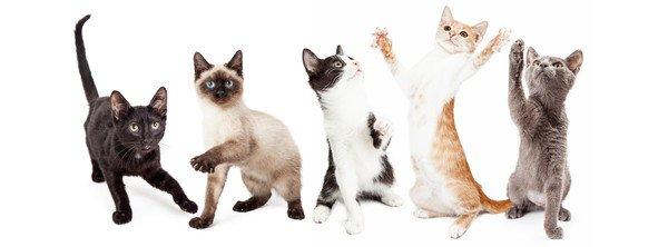 どんな猫が好き?顔つき3タイプと体型6タイプ