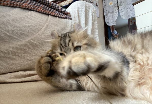猫がお手てで『ちょいちょい』する5つの理由