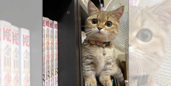 あまりの可愛さに「置物だと思った」話題のミヌエット子猫♡