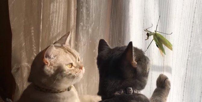 「緑色のコイツは一体なんにゃ?」カマキリvs猫二匹!!緑の背中を何処までも追う