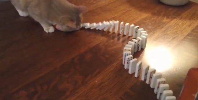 果たして成功するのか!猫ちゃんご飯を賭けたドミノ倒しに挑戦!
