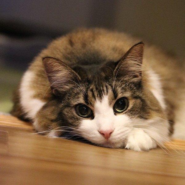 『甘えん坊』の猫種12選!その特徴と性格を解説