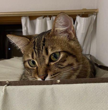 猫の模様「キジトラ」と「サバトラ」の違いって?