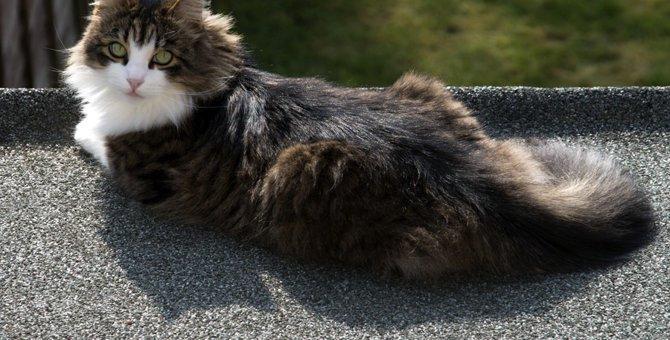 大きい猫の特徴やその魅力