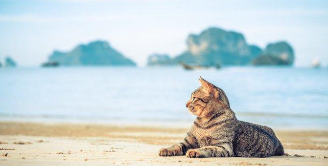 耳が大きい猫は洋猫?特徴や種類まで