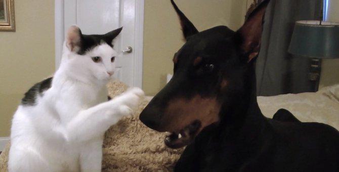 険悪な雰囲気?おかっぱ猫ちゃんとドーベルマン。実はこんなに仲良しなんです♡