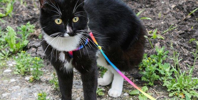 猫にハーネスをつけて散歩するススメ!方法や注意点