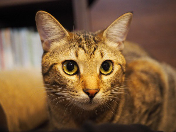 猫が飼い主をじーっと見るときの意味3つ