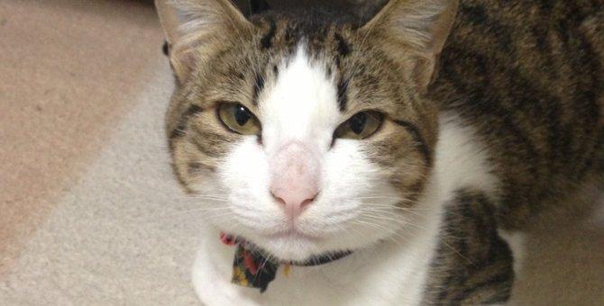 ハチワレ猫の性格 柄ごとでご紹介!