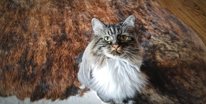 マンクスはしっぽがない幻の猫!体の特徴や飼い方
