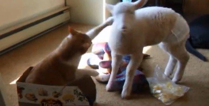 「やめるニャ!」シロヤギさんにお耳を食べられた猫ちゃん、ブチギレ