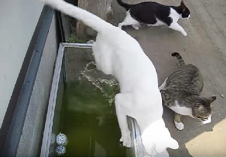 後ろから押すにゃよ?水槽の中が気になった白猫ちゃんの末路