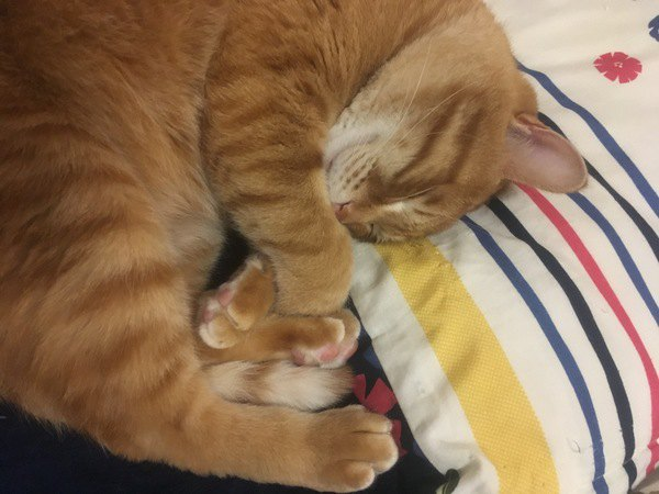 猫が飼い主の枕を使って寝る理由3つ