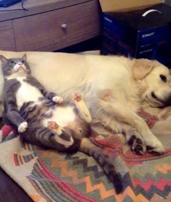「げ!ばれた!」寝ている犬のお腹を枕にしていた猫、バレた瞬間の顔が可愛い!