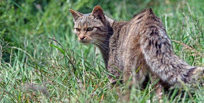 猫の先祖はどんな生物?ミアキスからイエネコまで