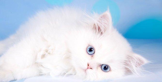 オホサスレスってどんな猫?特徴や性格、飼い方まで
