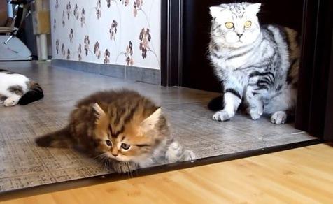 ちょっとぶつかっただけなのに…怒られてシュンとする子猫