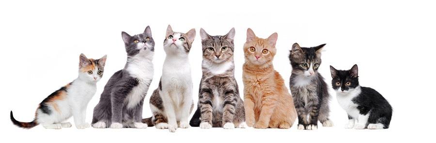 猫の種類まとめ!人気ランキングTOP20とその他一覧