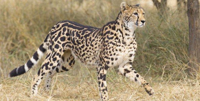 絶滅危惧種に指定されている猫の種類8選!その特徴を徹底解説