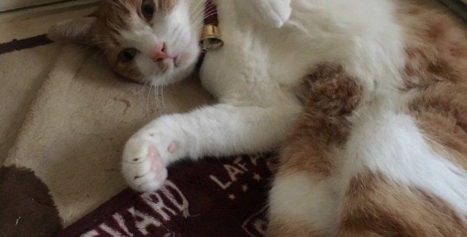 猫が仰向けになってお腹を見せてくる心理