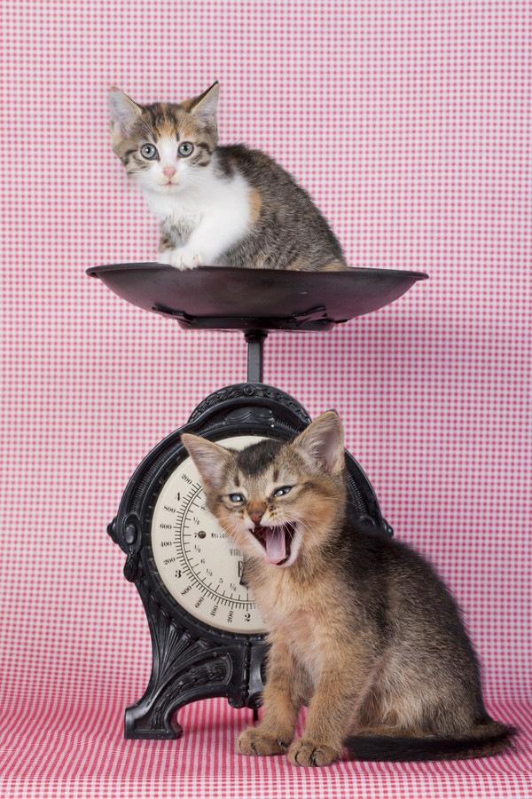 愛猫の体重や体格を認識してますか?