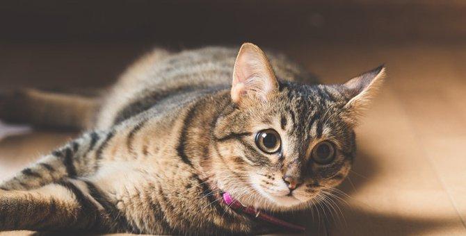 家猫として飼う場合の利点と注意点